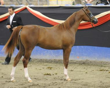 VP Delilah as a yearling